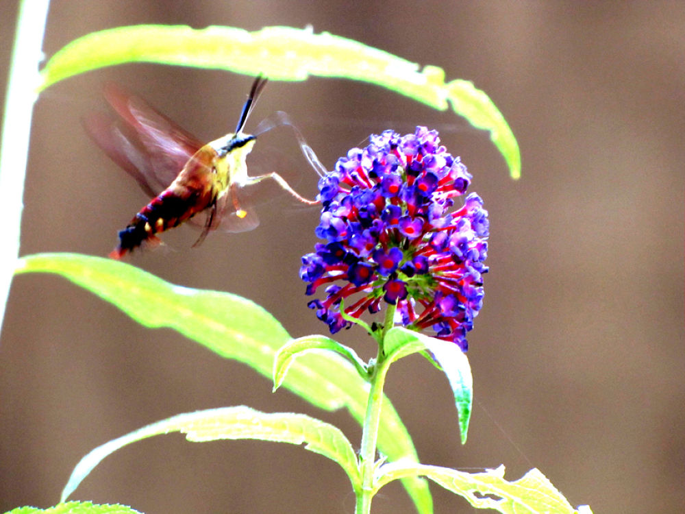 IMG_2453 Clearwing hummer moth AAa by RMMEIER