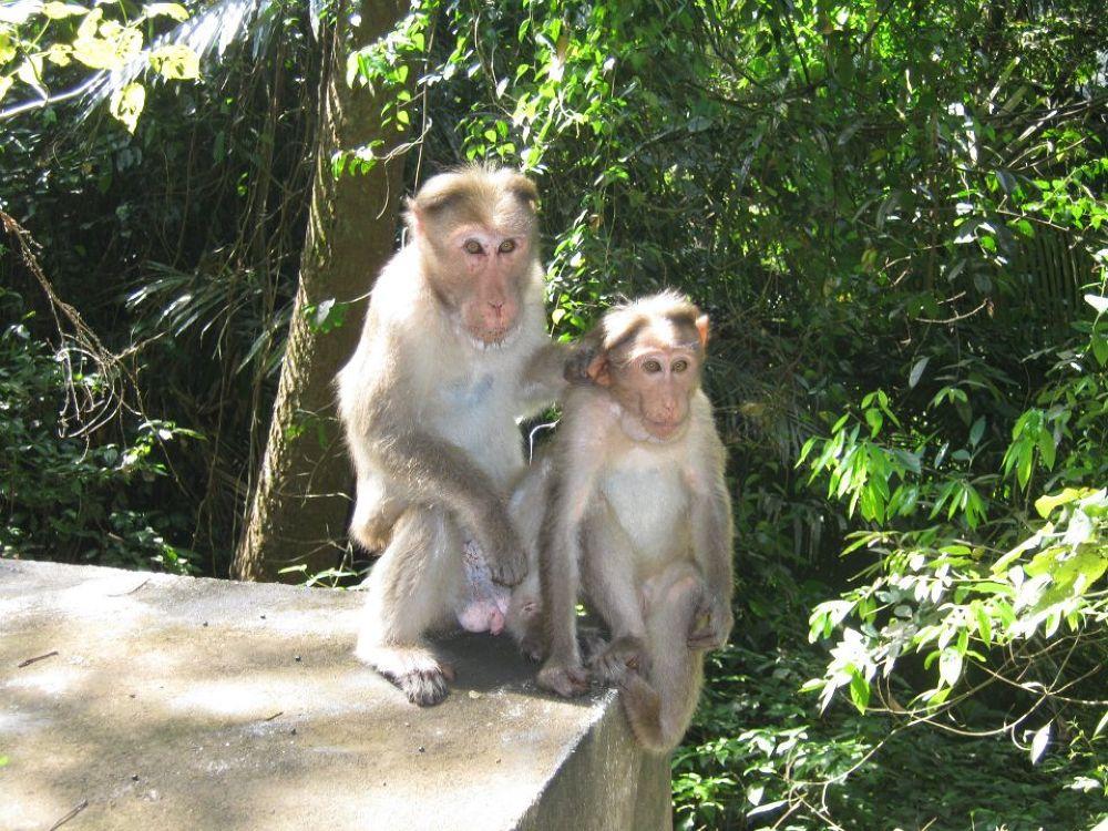 monkey @ munnar by kirannambiyath