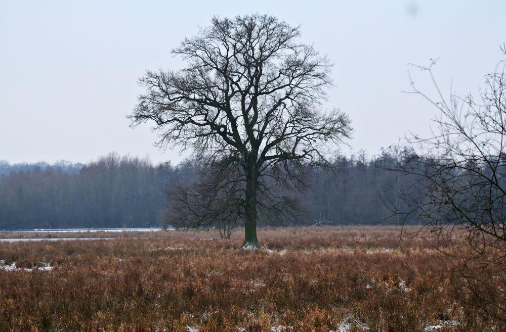 Ilkerbruch Big Oak by gauna