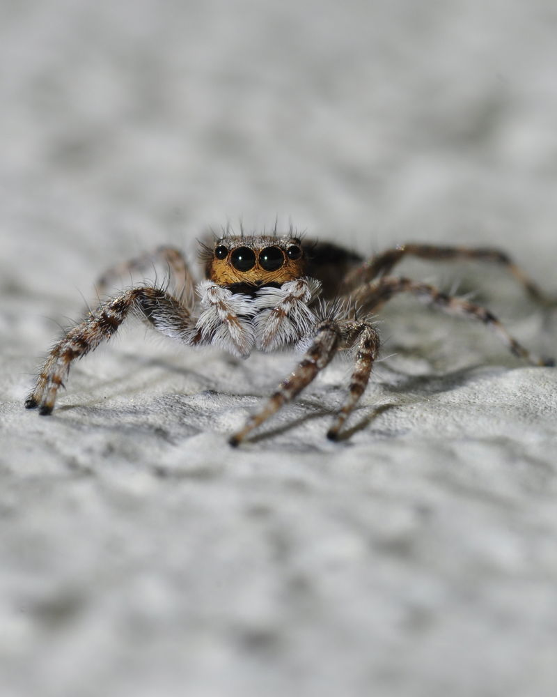 Jump Spider by JuanZamora
