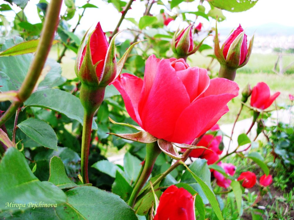 Roses by miropa