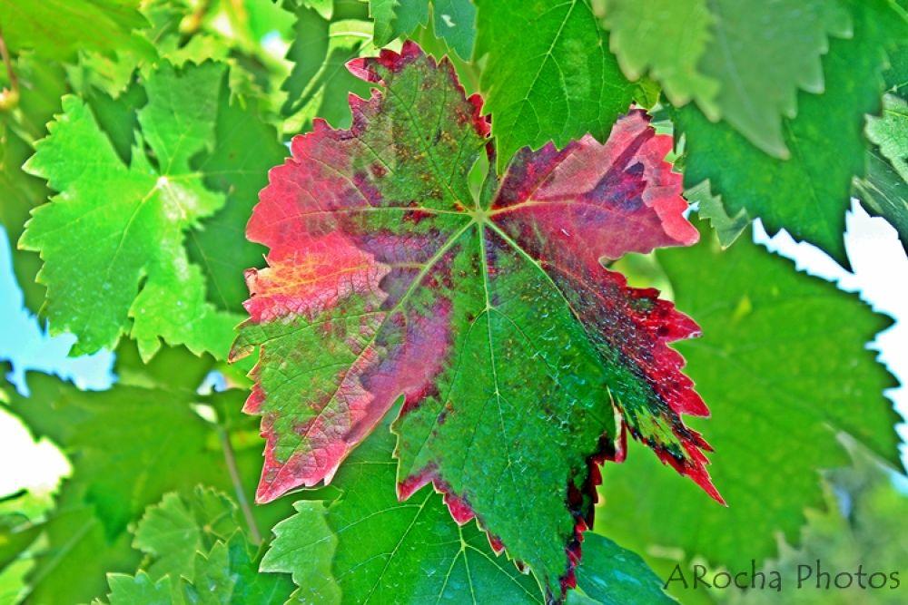 Fig Leaf by AROCHA