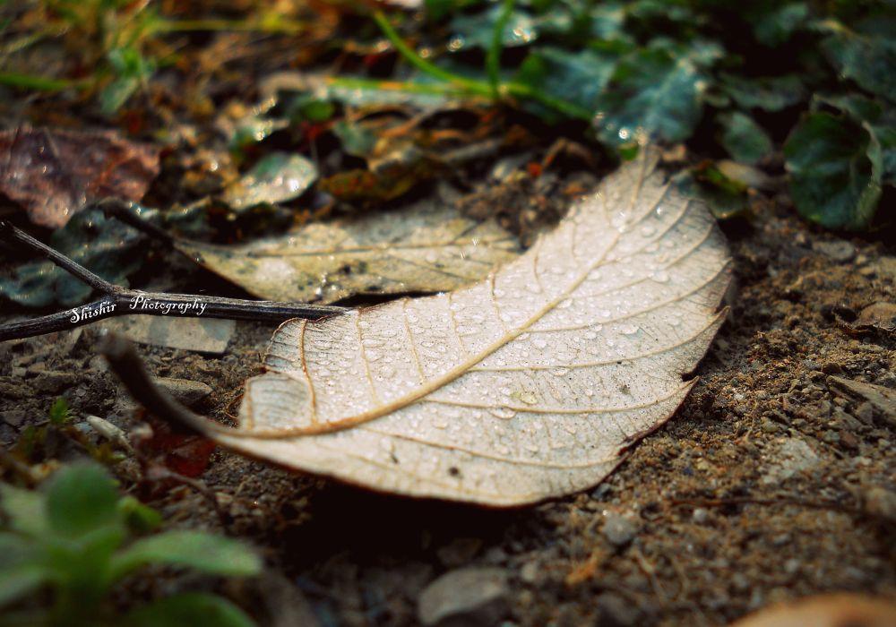 Dew drops on decaying Leaf. . . . by SHISHIR KUMAR SINGH