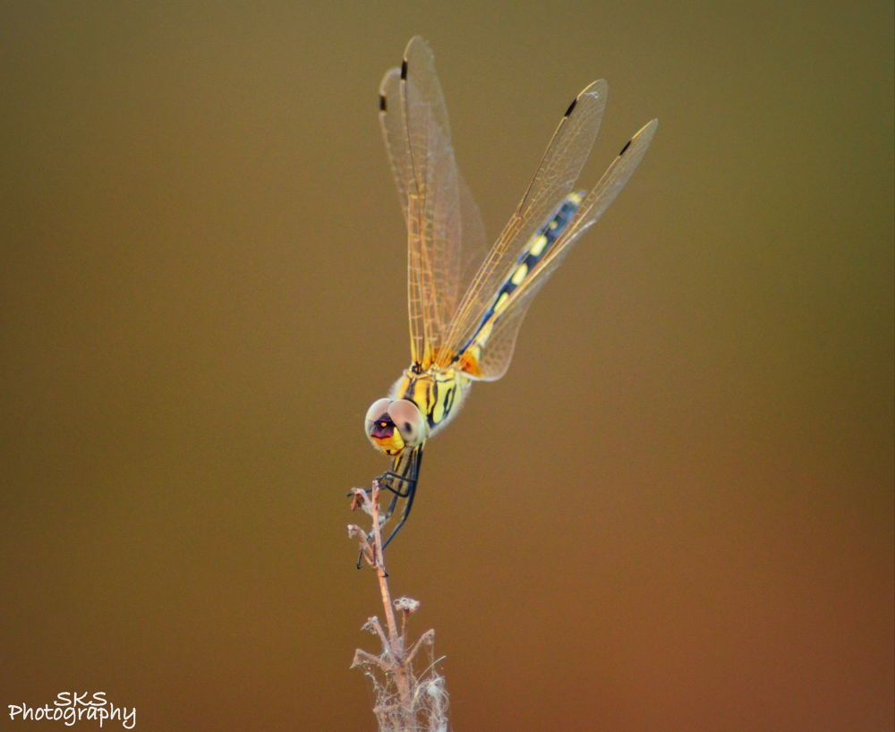 Dragonfly. . . . by SHISHIR KUMAR SINGH