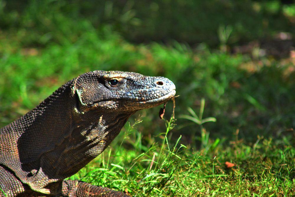 "Komodo The Dragon by "" Tan ""   Ridwan Ry"