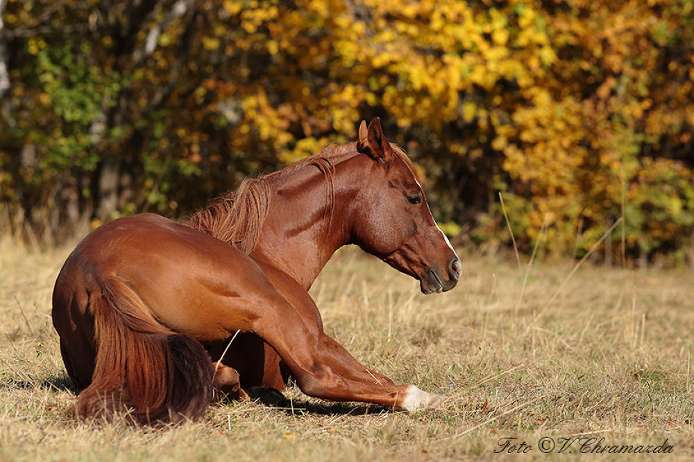 Photo in Animal #ypa2013 #horse #relaxation #arabian #arabianhorse #autumn