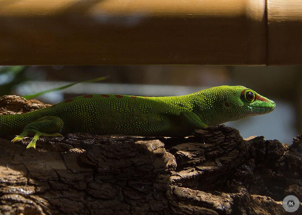 lizard by RomanKrejcik.com