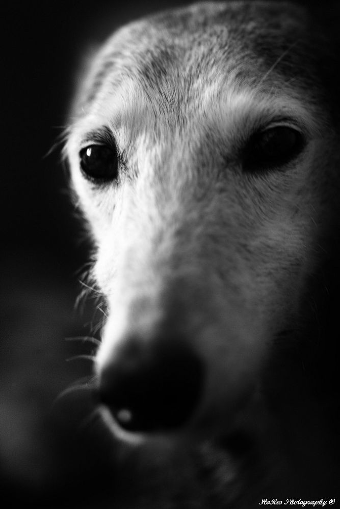 Photo in Random #hores photography #greyhounds #dogs