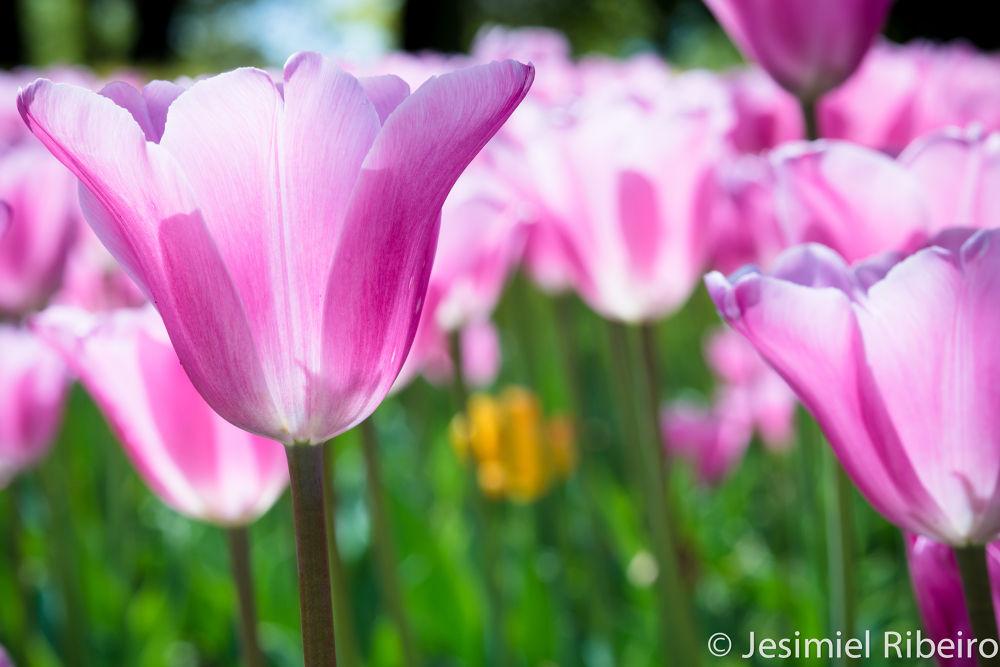 Tulip by JesimielRibeiro