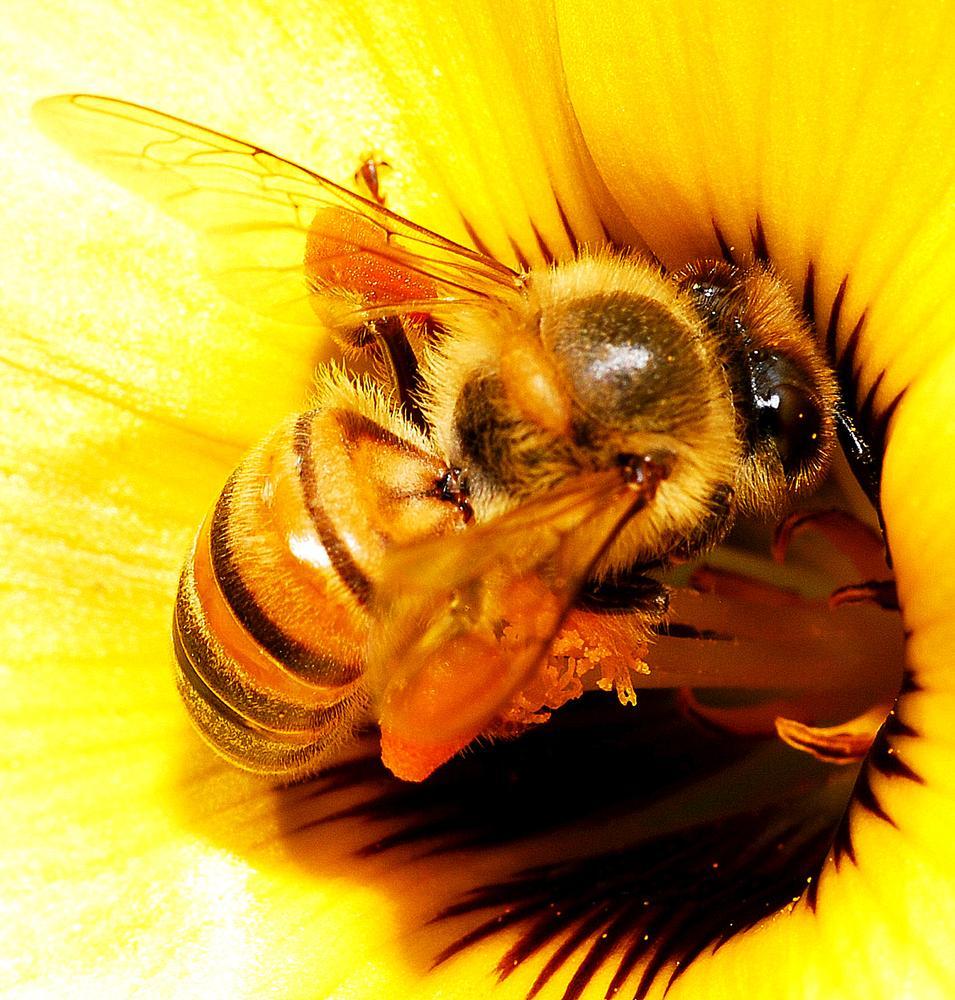 Bee - Macrofotography by Rian Matos