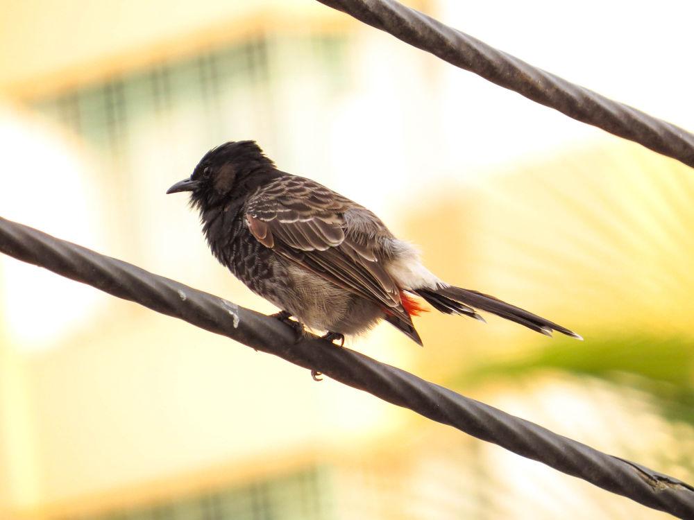 Photo in Animal #bangladesh #bulbuli