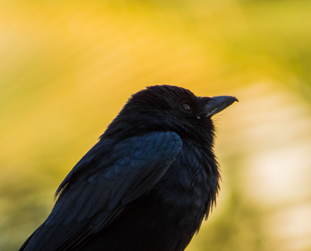 Photo in Animal #bangladesh #bird #black drongo
