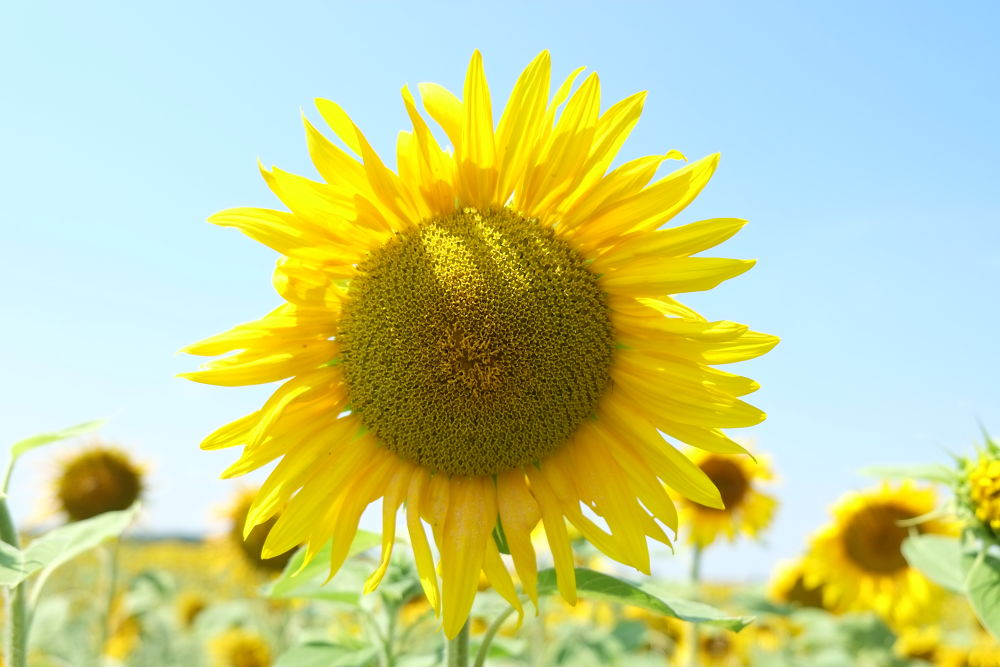 Photo in Nature #ypa2013 #sunflower #sonnenblume