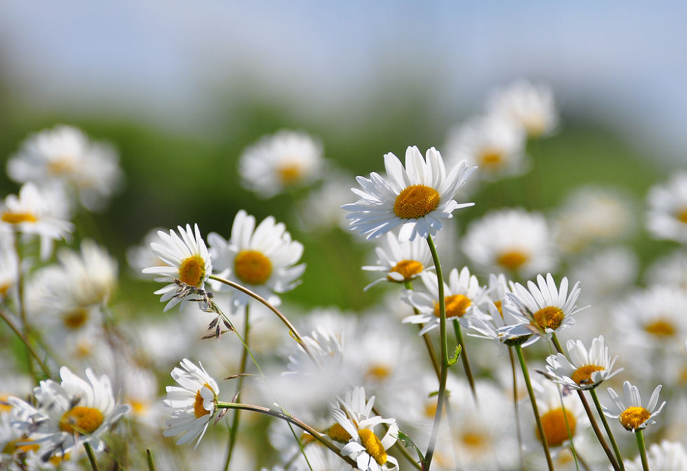 Photo in Nature #ox-eye daisies