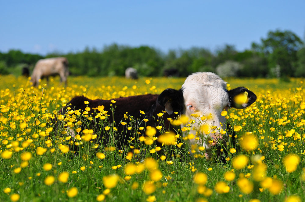 Photo in Animal #summer #buttercups #cow #ypa2013