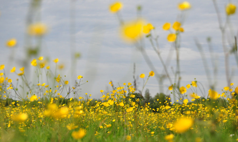 Meadow Buttercups by Tony Steele