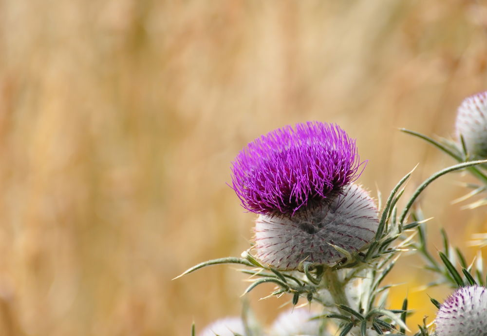 A Woolly Thistle by Tony Steele