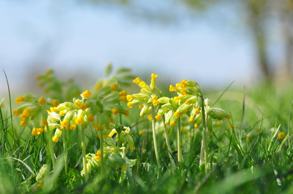 Spring Cowslips by Tony Steele