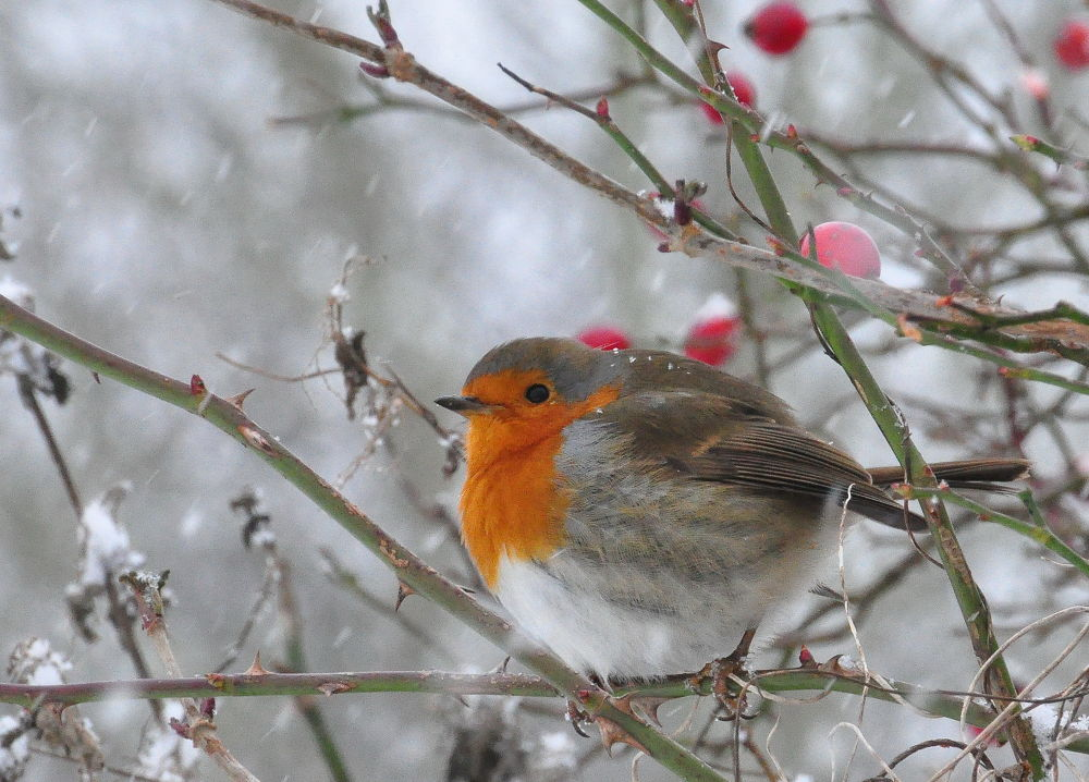 Robin in the Snow by Tony Steele
