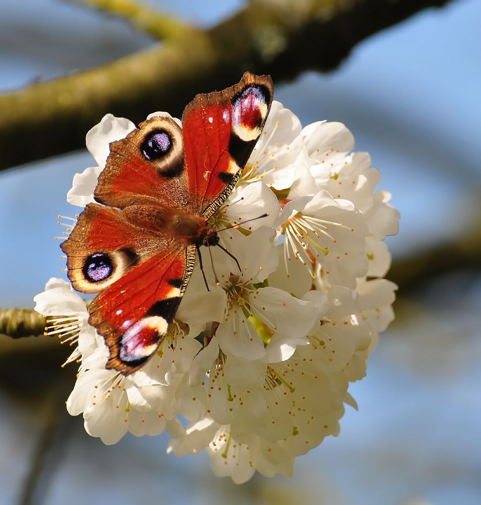 Photo in Nature #peacock butterfly #butterfly
