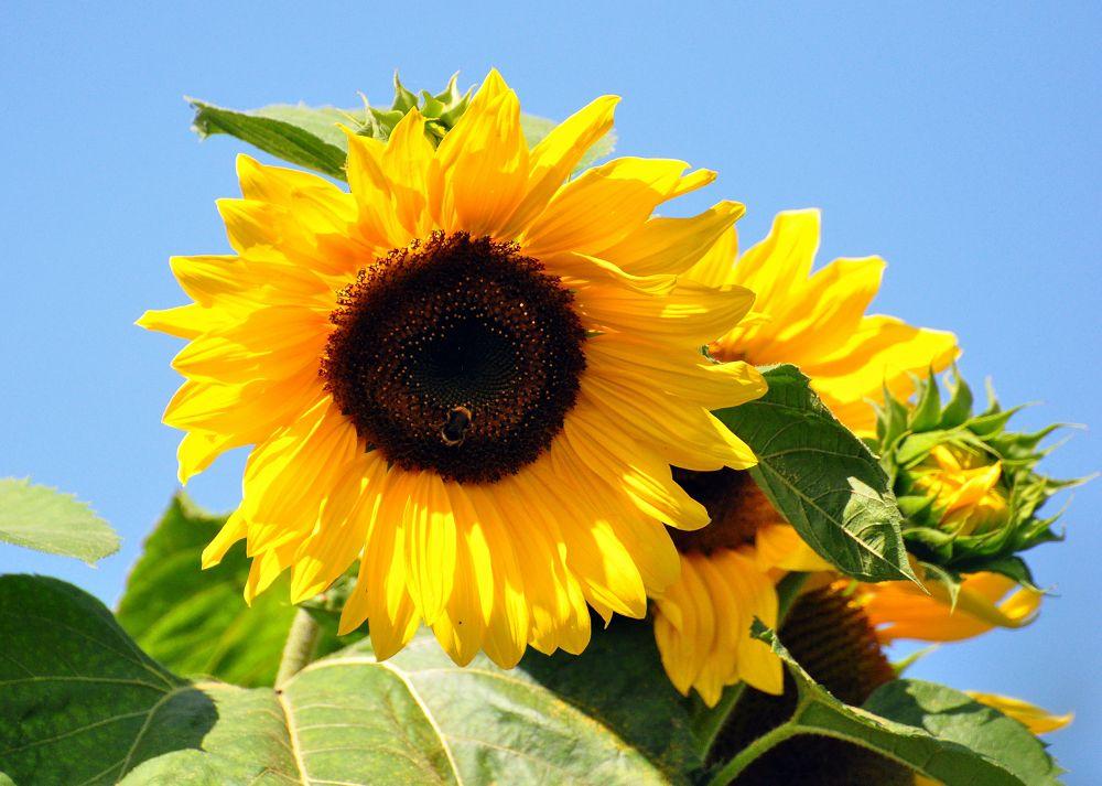 Photo in Nature #sunflowers