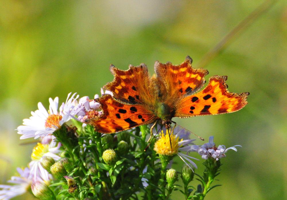Comma Butterfly by Tony Steele