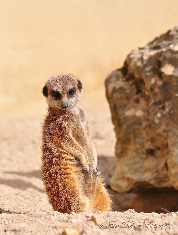 Meerkat at the Cotswold Wildlife Park nr Oxford,UK by Tony Steele