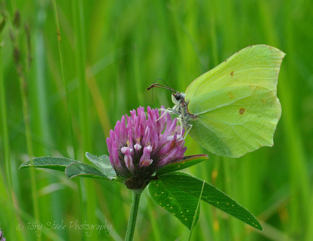 Photo in Macro #brimstone butterfly