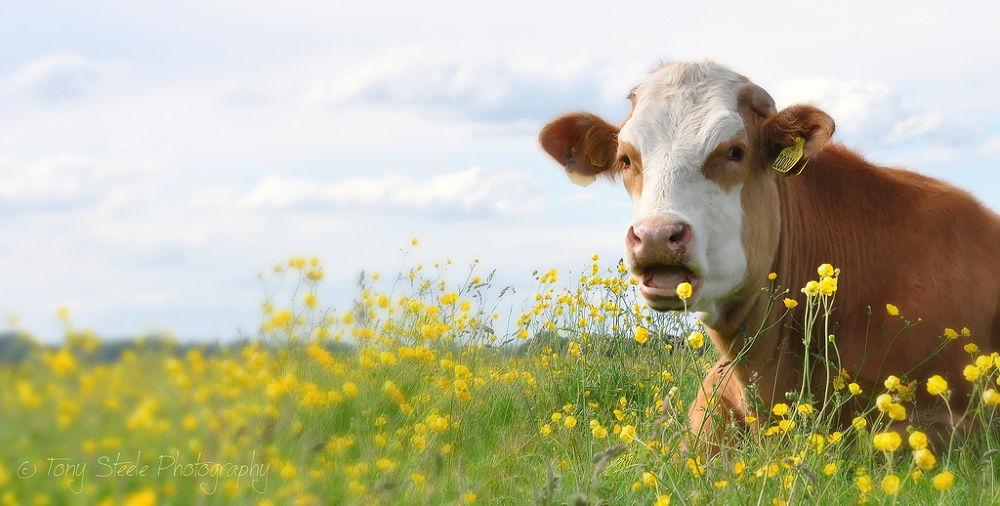 Port Meadow cow by Tony Steele