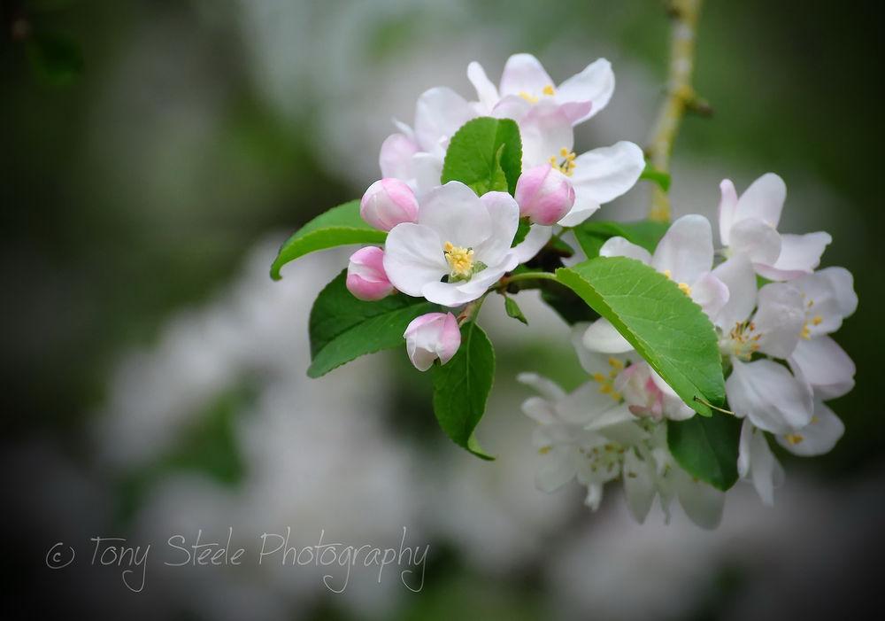 Apple Blossom by Tony Steele