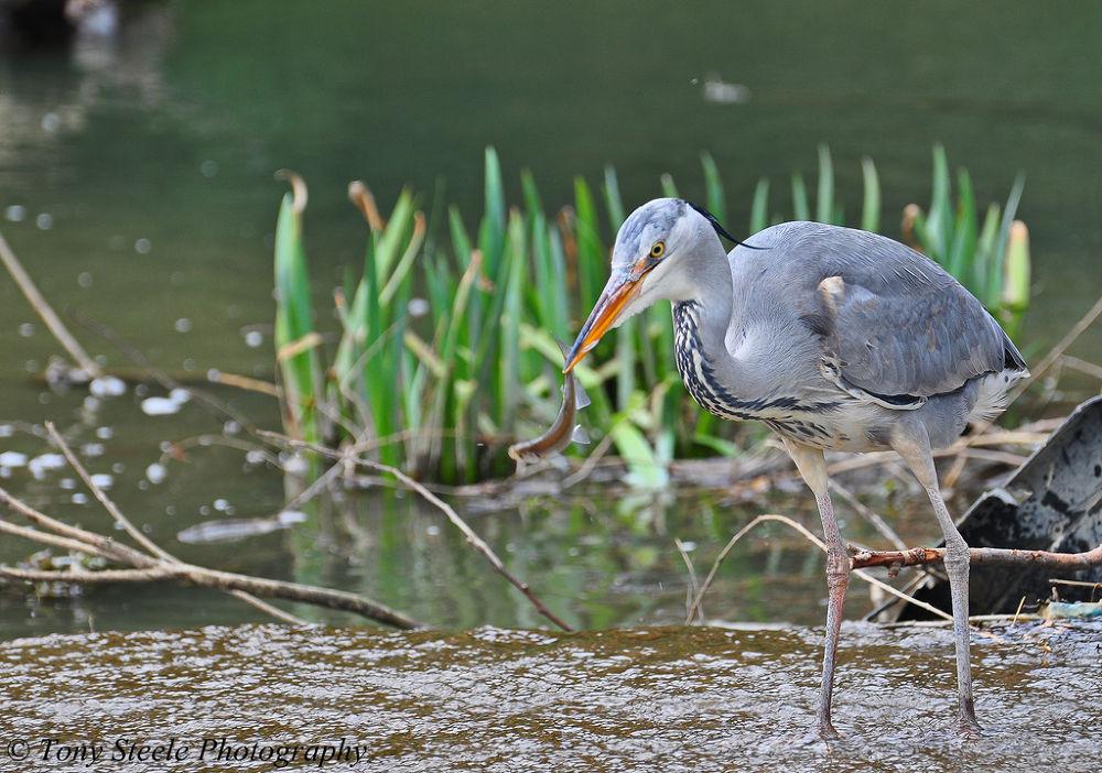 Photo in Nature #grey heron