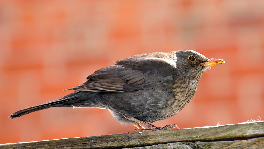 Photo in Random #female blackbird