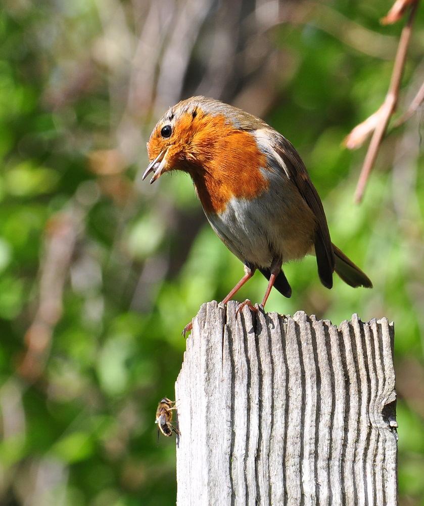Photo in Nature #robin