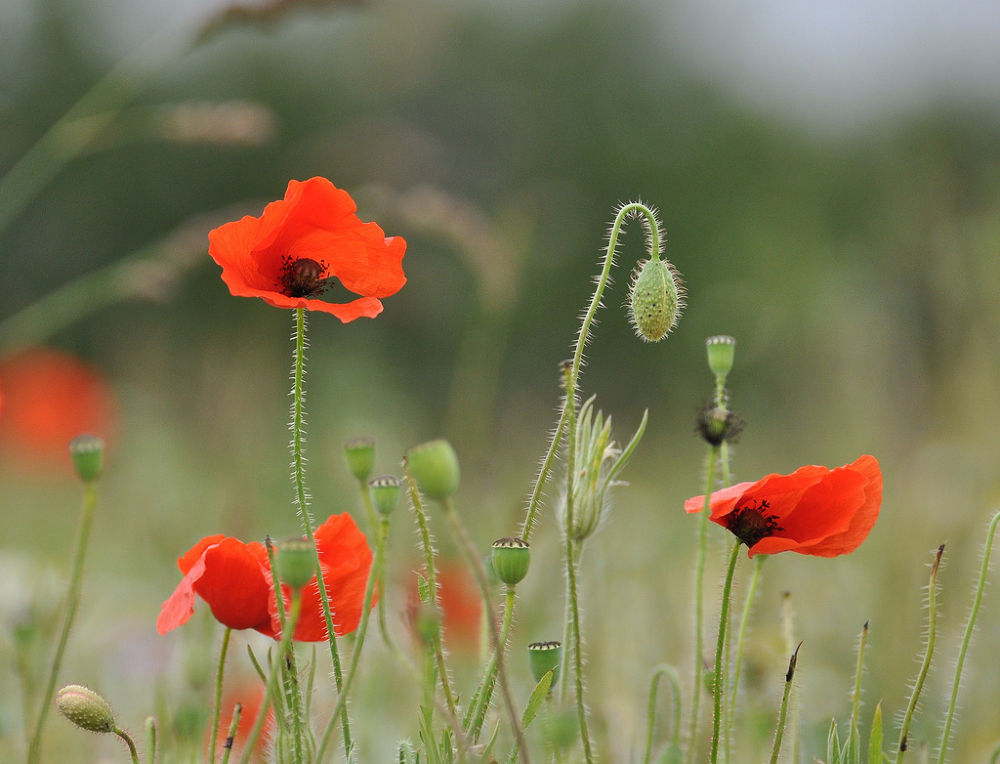 Photo in Nature #wild field poppies #poppies