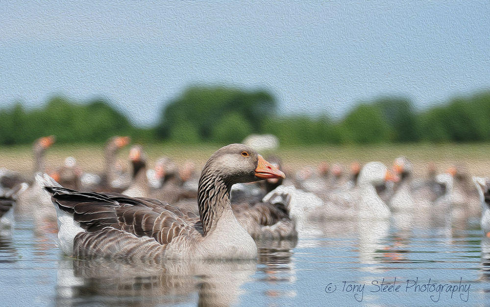 Greylag Geese (Oil Painting FX) using Photoshop CC by Tony Steele