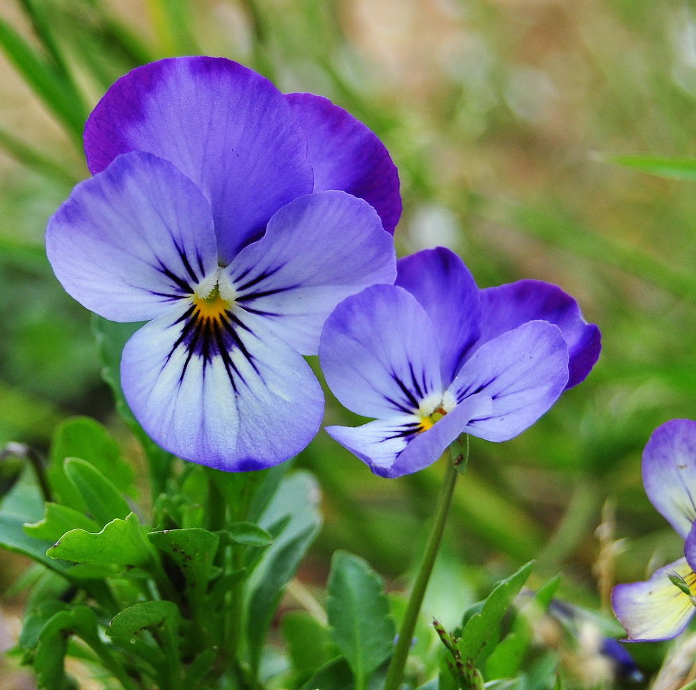 Photo in Nature #violas
