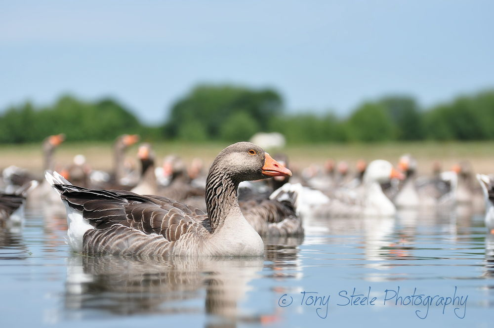 Greylag Geese by Tony Steele