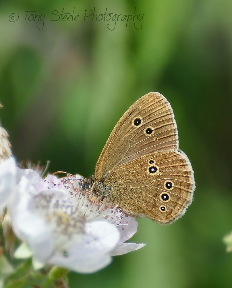 Photo in Nature #ringlet butterfly #butterfly