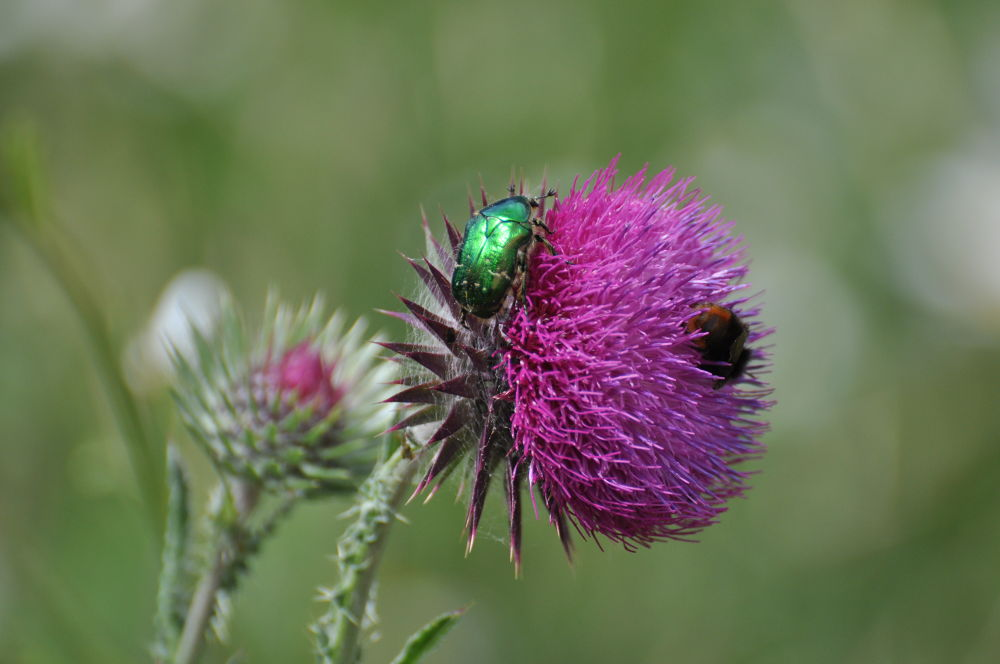 Musk Thistle and a Rose Chaffer Beetle by Tony Steele