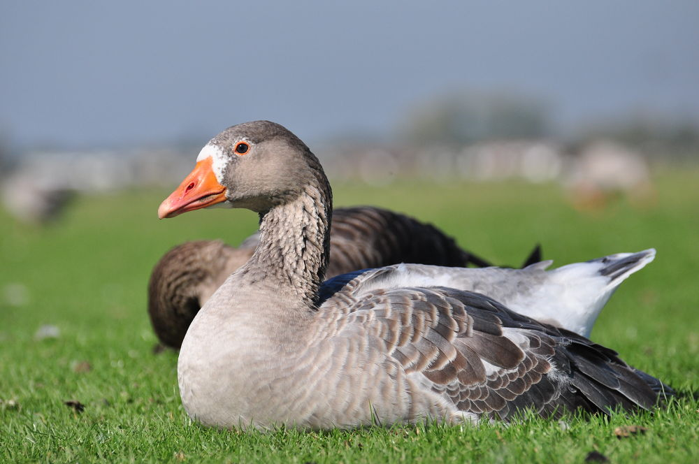 A Greylag Goose enjoying the Spring sunshine by Tony Steele