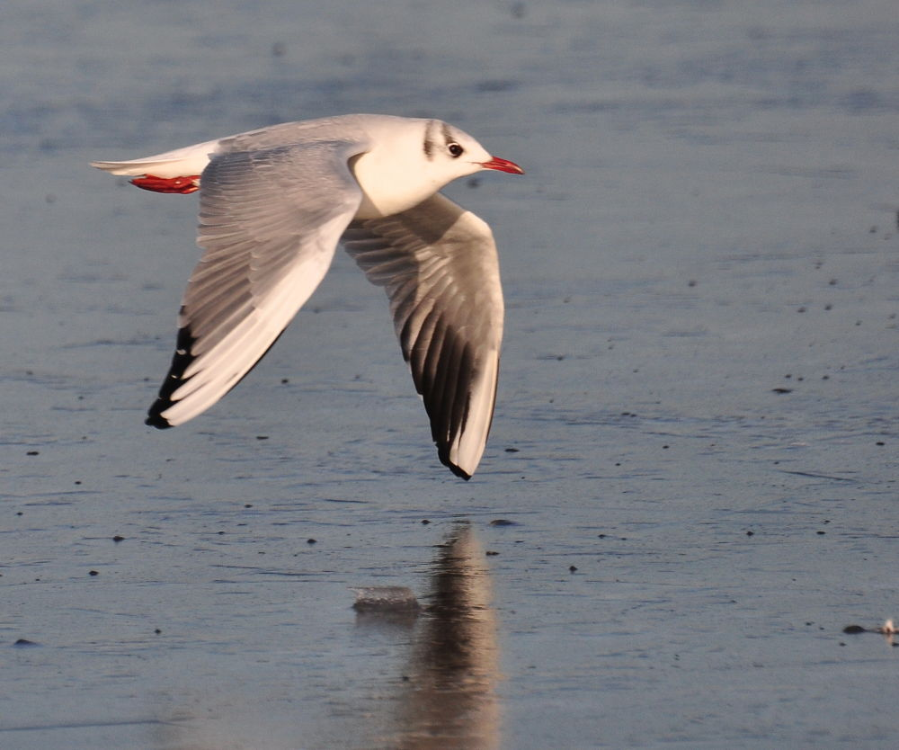 Black Headed Gull in winter by Tony Steele
