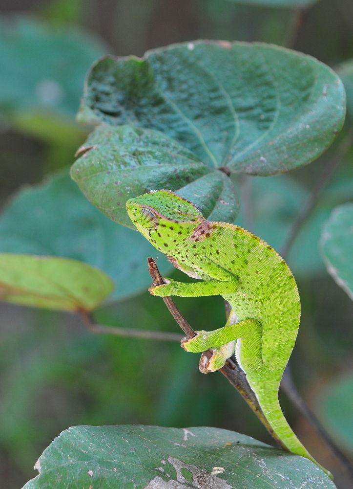 Chameleon by Tony Steele