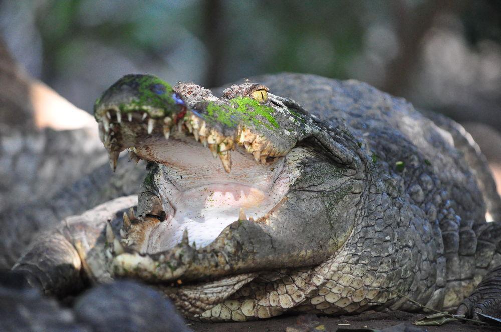 Crocodile by Tony Steele