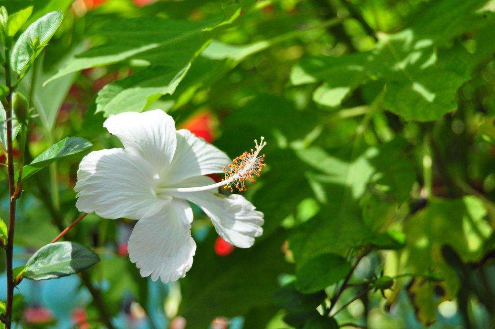 White Hibiscus by Tony Steele