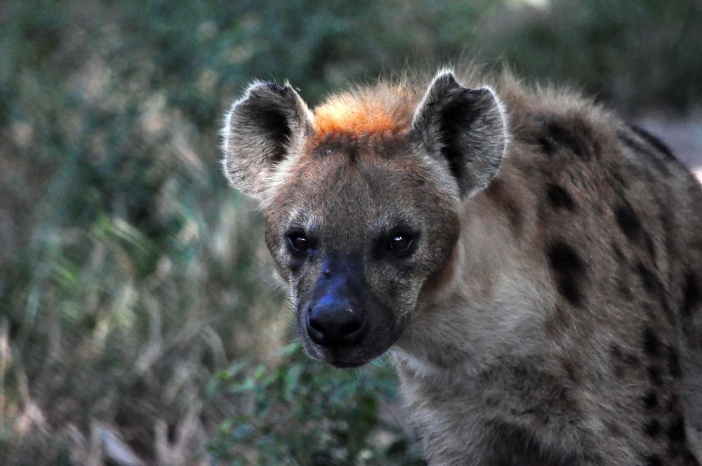 Hyena by Tony Steele