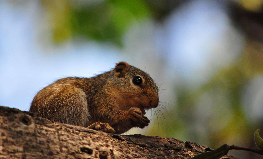 Gambian Squirrel by Tony Steele