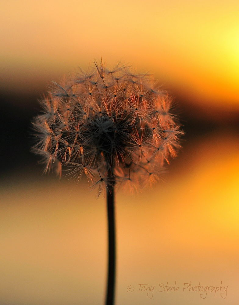 Dandilion at sunset by Tony Steele