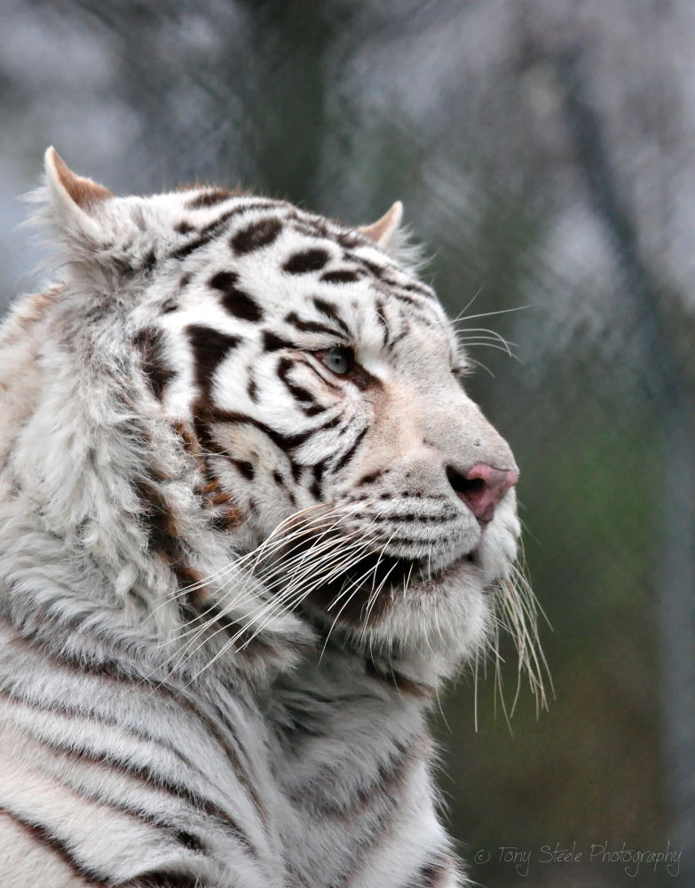 White Tiger at the West Midlands Safari Park,UK by Tony Steele