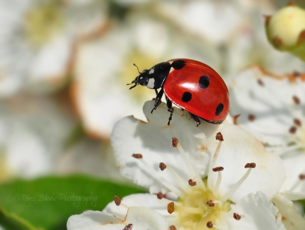 Ladybird by Tony Steele