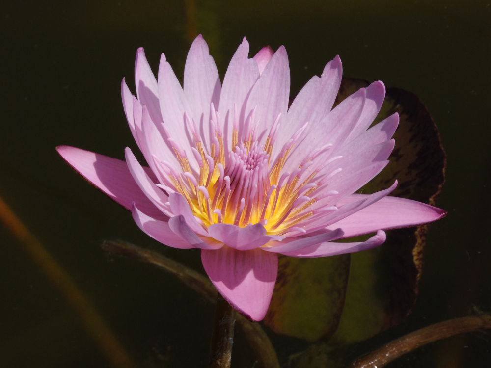 Photo in Nature #flower #bloom #nature #landscapes #waterlily #waterplant #deco #macro #plant #purple